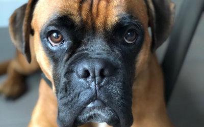 Hundetraining für Blue – konsequent und fokusiert